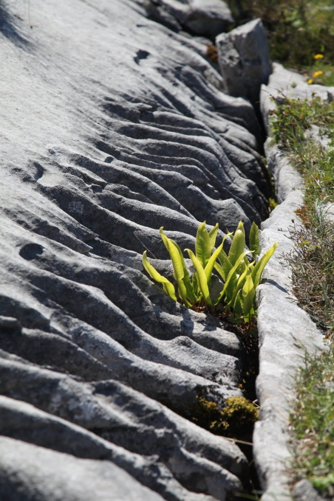 The Burren.  Fern growing in rinnenkarren near Fanore.