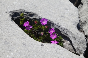 The Burren.  Flowering plant growing in grike.