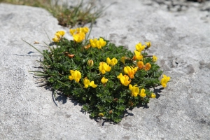 The Burren.  Flowering plant
