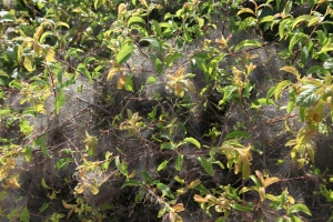 The Burren.  Fine spiders web on flowering bush