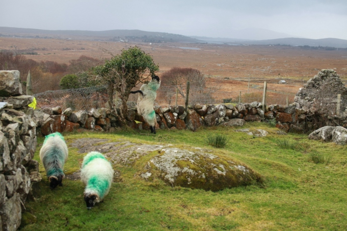 Hungry sheep, Connemara