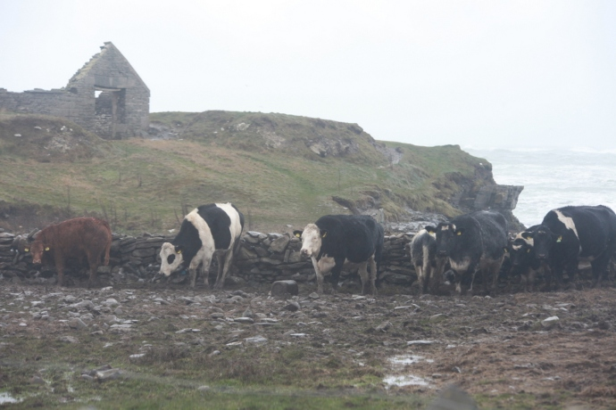 Cattle turn their backs to the wind.  Spanish Point, Co Clare