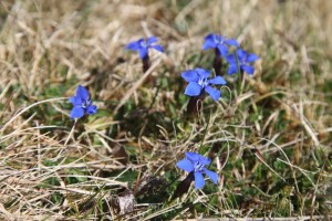 Inis Mor. Teampull Bheanáin.  Spring gentian