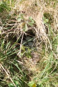 Inis Mor. Wild duck's nest