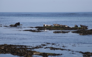 Inis Mor. Seal colony