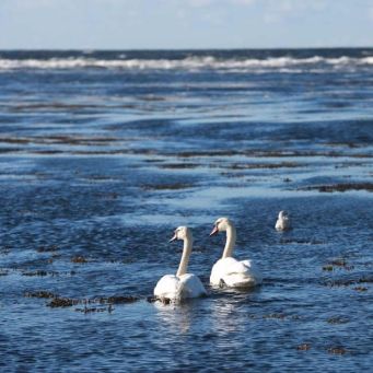 Swans at Doughmore. Perfect synchronicity II