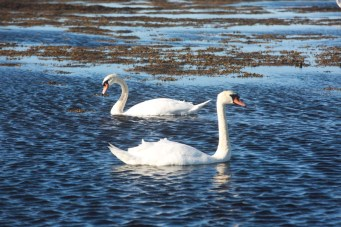 Swans at Doughmore. Perfect synchronicity I