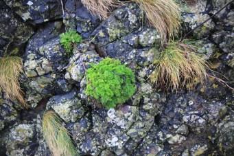 Hanging on to life on the basalt