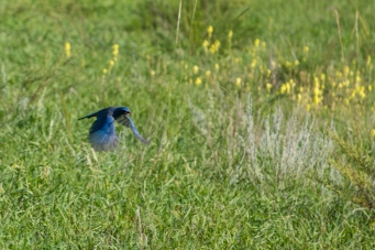 Scrub jay collecting material for a nest