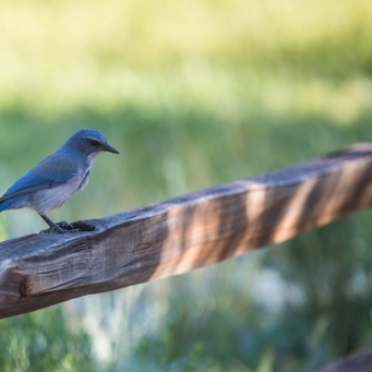 The same scrub jay having a rest