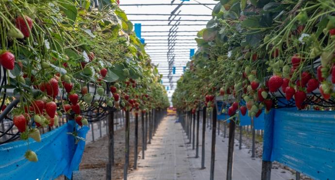 strawberries--2